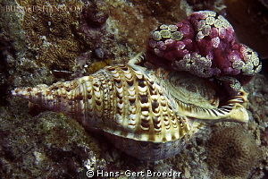 Triton trumpet 
